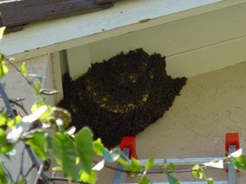Bee Removal Torrance This is a 
